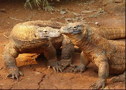 Komodo Dragon Adventure (Sleep at the Hotel) - Paket Wisata - Dalam Negeri