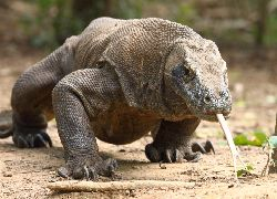 Komodo Dragon Adventure (1night on boat, 1night at hotel) - Paket Wisata - Dalam Negeri