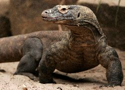 KomodoDragon4Days3Nights